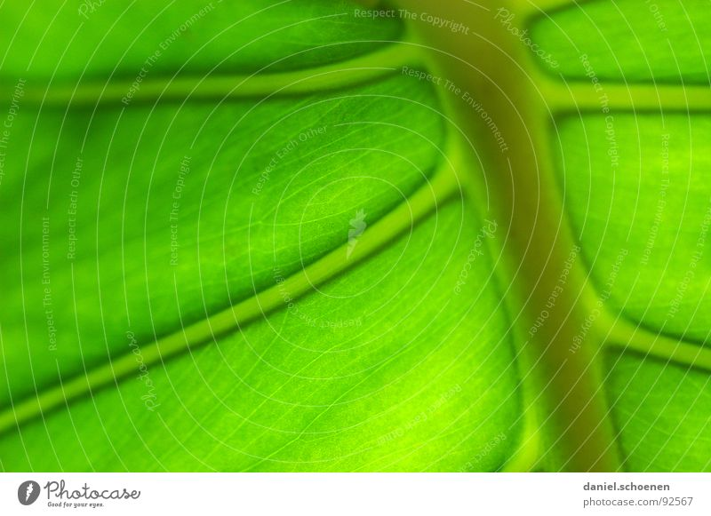 beautiful green Leaf Background picture Vessel Growth Photosynthesis Plant Green Bright green Monochrome Macro (Extreme close-up) Close-up Detail