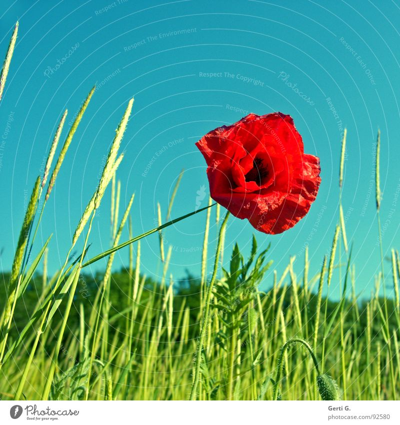 Sky Nature Blue Green Plant Red Flower Summer Loneliness Grass Blossom Spring Moody Field Blossoming