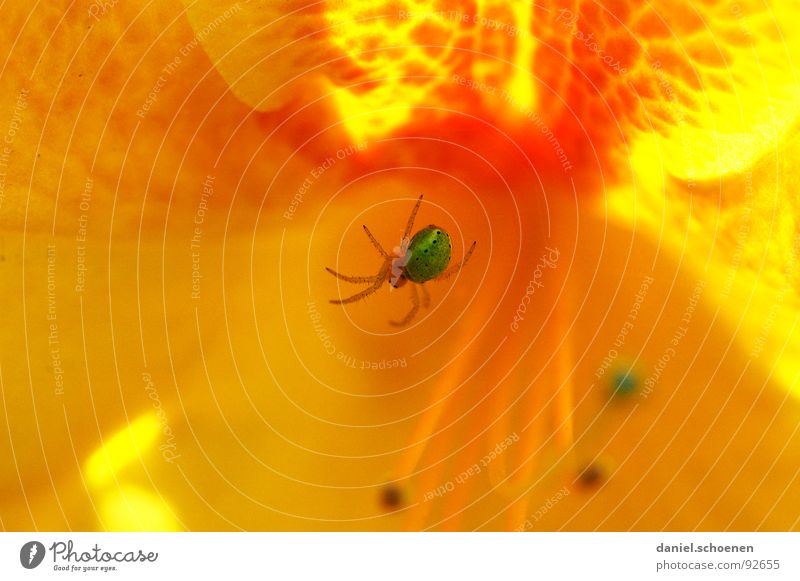 spiderman (the real one) Abstract Flower Blossom Spring Summer Green Yellow Red Multicoloured Spider Macro (Extreme close-up) Close-up Detail Orange