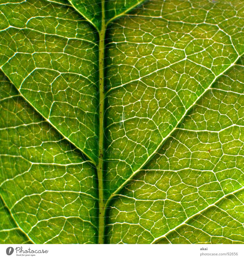 The sheet 10 Plant Green Botany Part of the plant Creeper Verdant Environment Bushes Back-light Leaf Background picture Tree Near Photosynthesis Mature Vessel
