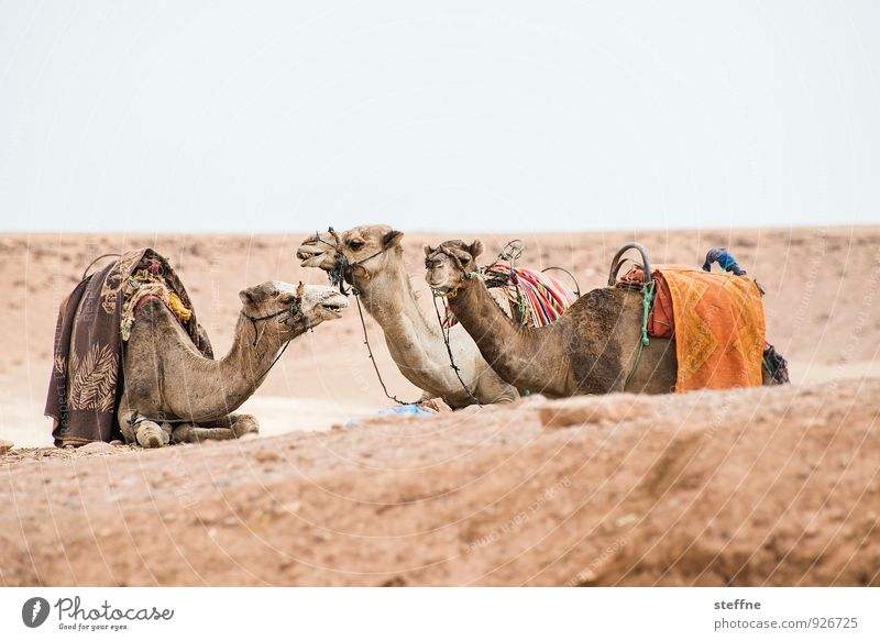 Warmth Sand Desert Hot Africa Drought Arabia Camel Morocco Dromedary