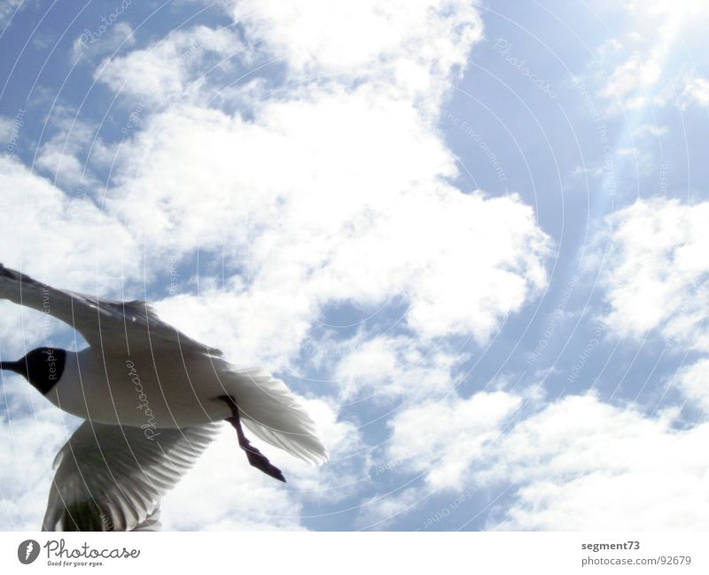 Sky Sun Blue Summer Clouds Bird Flying Aviation Feather Wing Seagull Black-headed gull