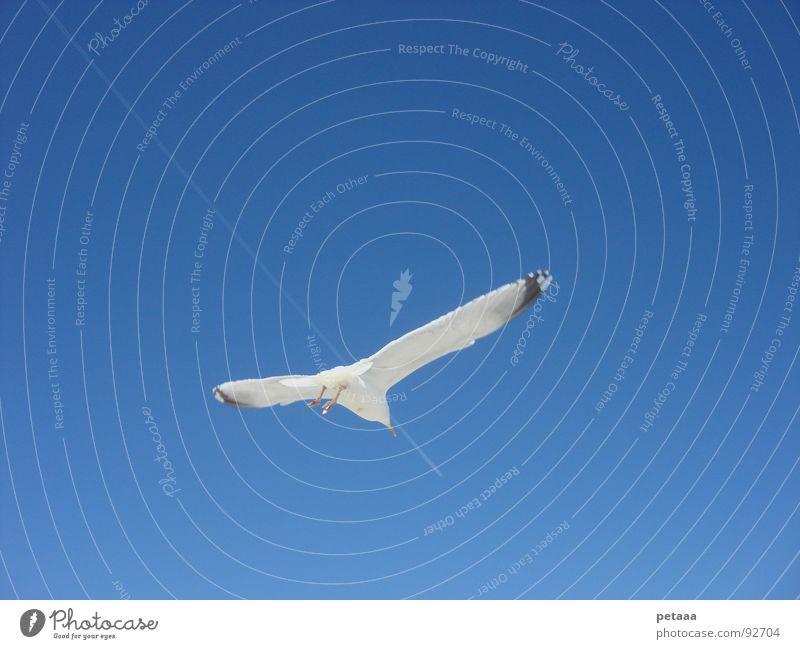Sky Blue Bird Aviation Seagull Vapor trail Chase Pursuit race