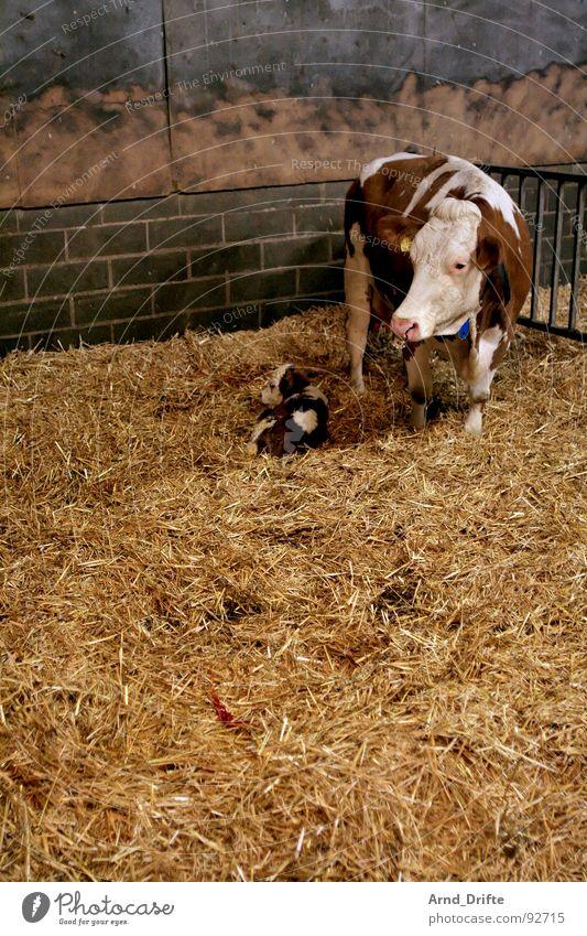 Cow and calf Calf Straw Farm Animal Barn Mammal
