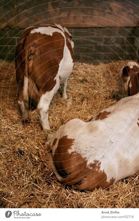Animal Hind quarters Farm Cow Mammal Straw Barn