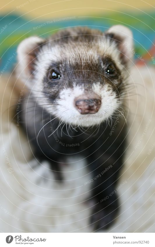 White Black Animal Marten Sweet Mammal Clown Western polecat