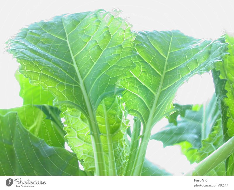 Leaf Vegetable Cabbage
