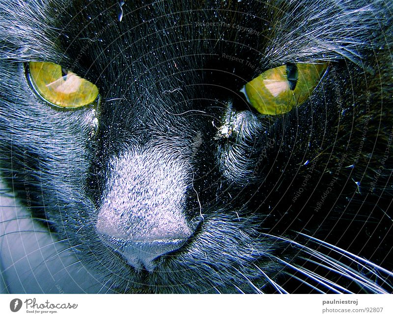 Cat Black Yellow Pelt Animal face Anger Mammal Aggravation Domestic cat Eerie Partially visible Whisker Iris Oversleep Cat eyes