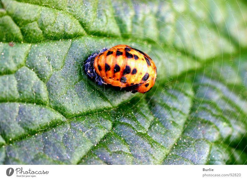 Animal Orange Insect Ladybird Larva
