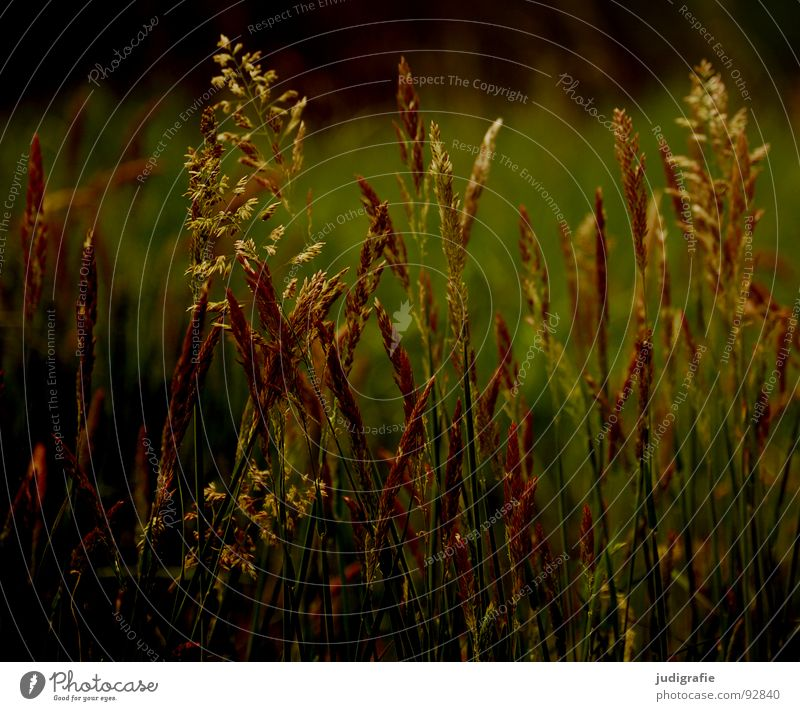 grass Grass Yellow Stalk Blade of grass Ear of corn Glittering Beautiful Soft Hissing Meadow Delicate Flexible Sensitive Pennate Plant Summer Transience Gold