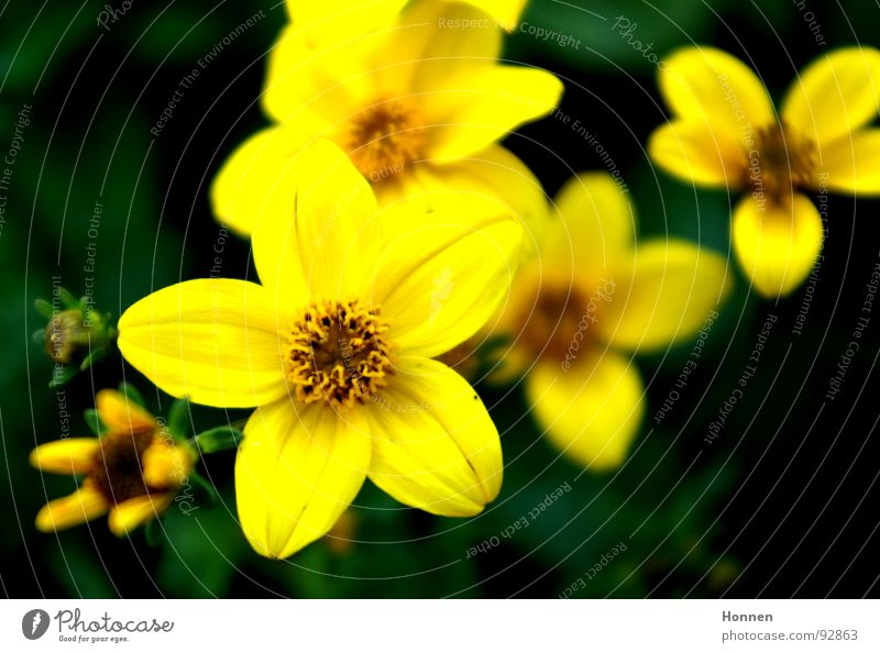 in bloom Flower Green Yellow Meadow Blossom Blur Spring Plant Coreopsis Daisy Family Ornamental plant Common chicory Garden Lamp Nature panicles tubular flowers