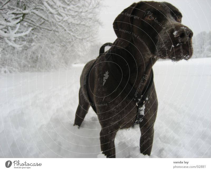 Dog Animal Winter Eyes Cold Snow Air Weather Field Rope To go for a walk Hunting Crockery Hunter Loyalty Best