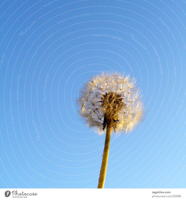 puppete Dandelion Blow Parachute Light blue Blue Air Summer Seed Sky daytime