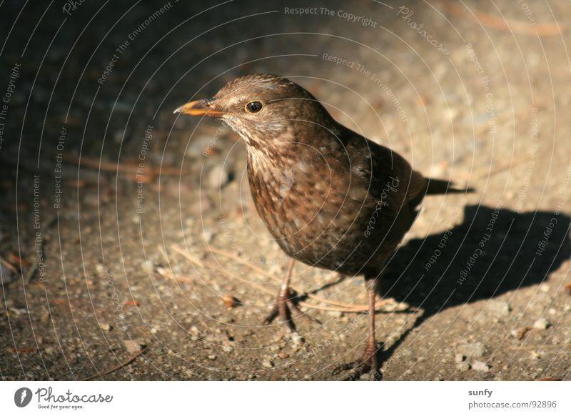 Nature Dark Bird Search Appetite Woodground Throstle Blackbird