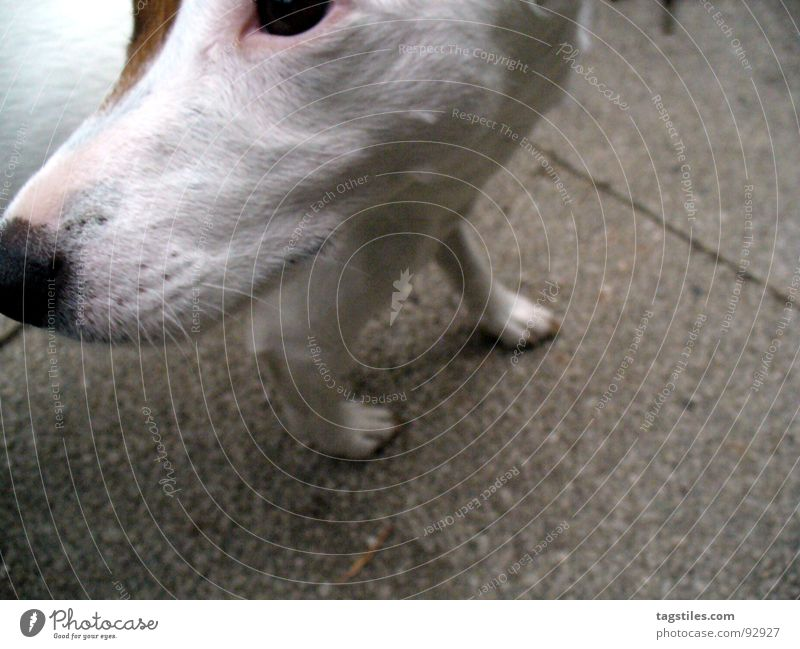White Eyes Gray Dog Brown Concrete Rotate What Paw Mammal How Snout Opposite Animal Terrier Russell