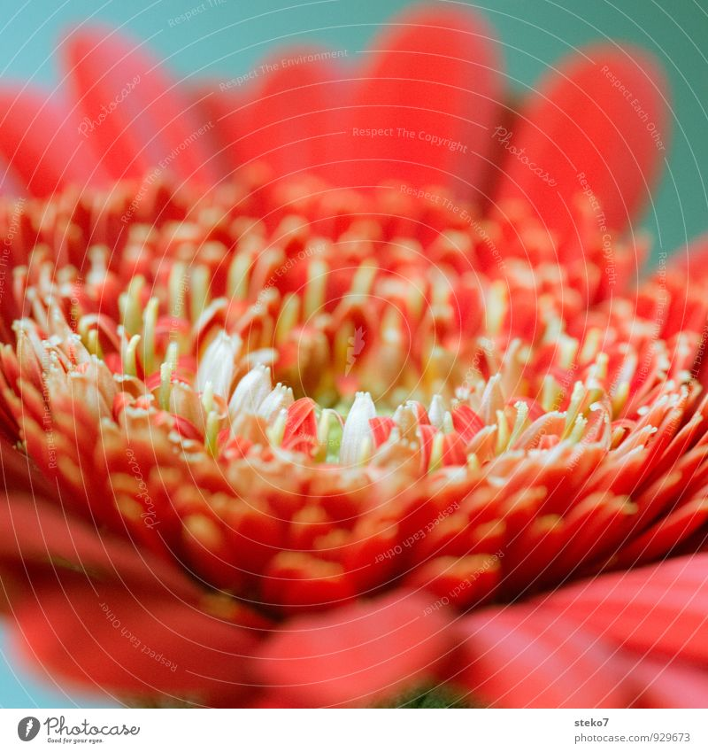 red III Plant Flower Blossom Gerbera Esthetic Fragrance Near Beautiful Green Red White Blossom leave Colour photo Studio shot Macro (Extreme close-up) Deserted