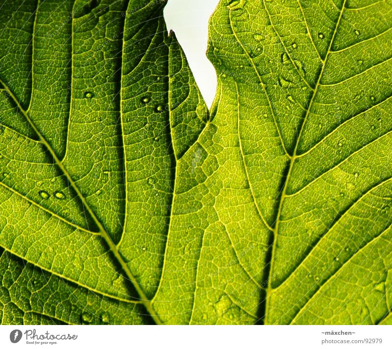 The signs of a leaf Leaf Green Live Vessel Plant Spring Life Drops of water Contrast transparent