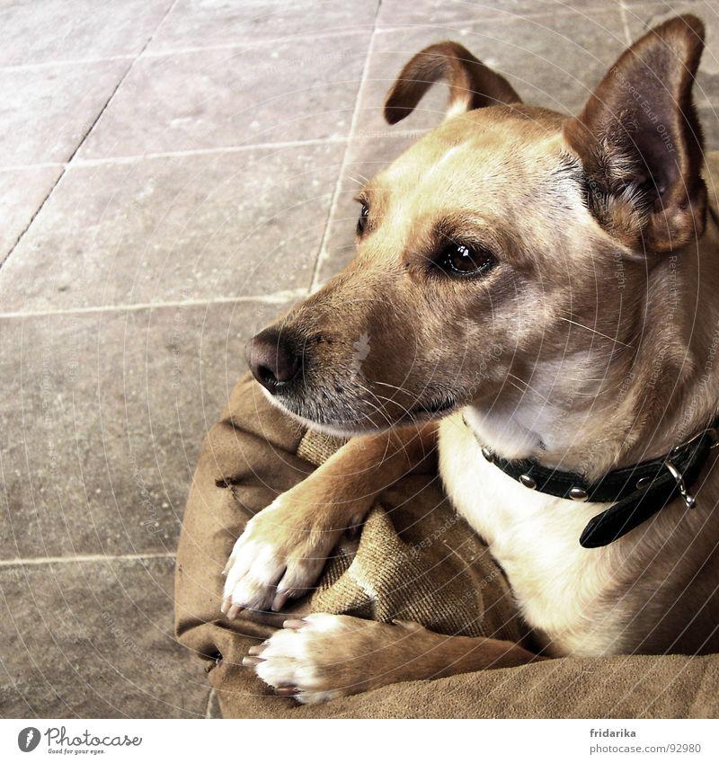 Animal Dog To go for a walk Ear Animal face Pelt Tile Curiosity Listening Cute Watchfulness Mammal Paw Pet Beige Muzzle