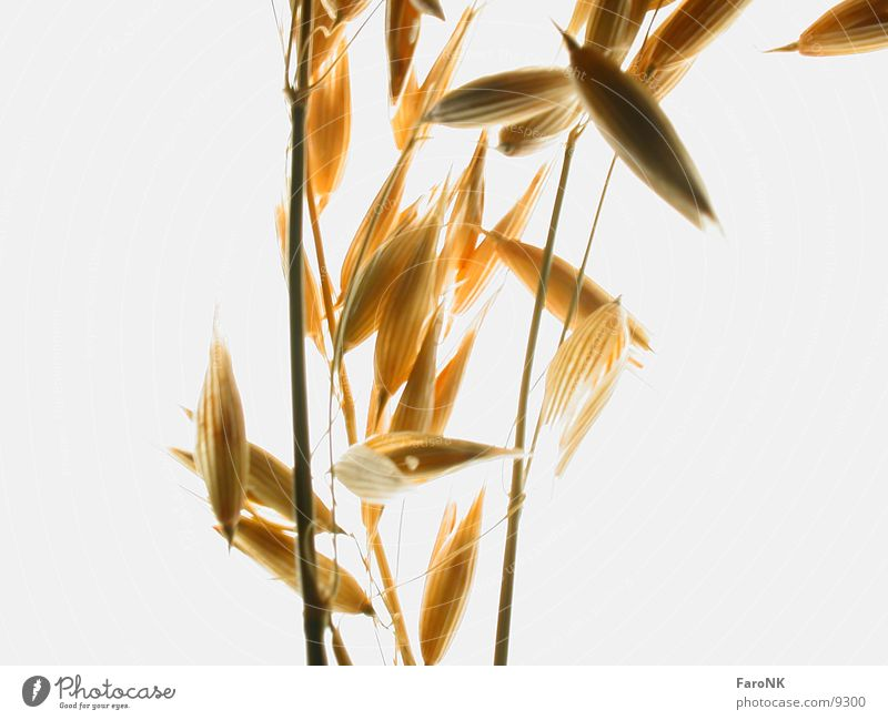 oats Oats Grain