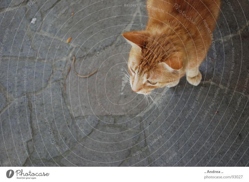 Cat Red Stone Ear Mammal Whisker Stone floor