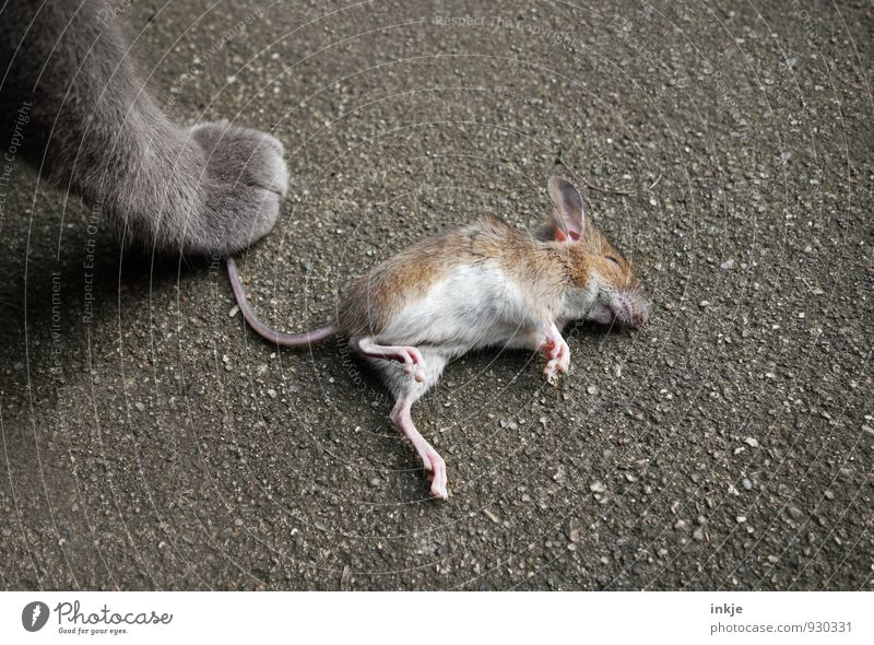 Cat and mouse. Pet Wild animal Dead animal Mouse Paw 2 Animal To hold on Lie Stand Emotions Success Might Compassion Watchfulness Conscientiously Endurance
