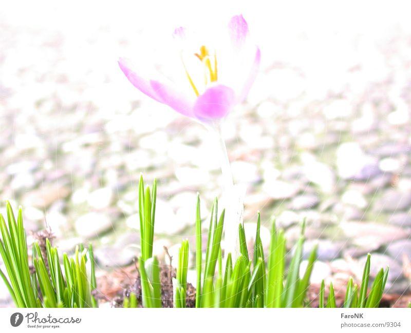 Flower Spring Crocus