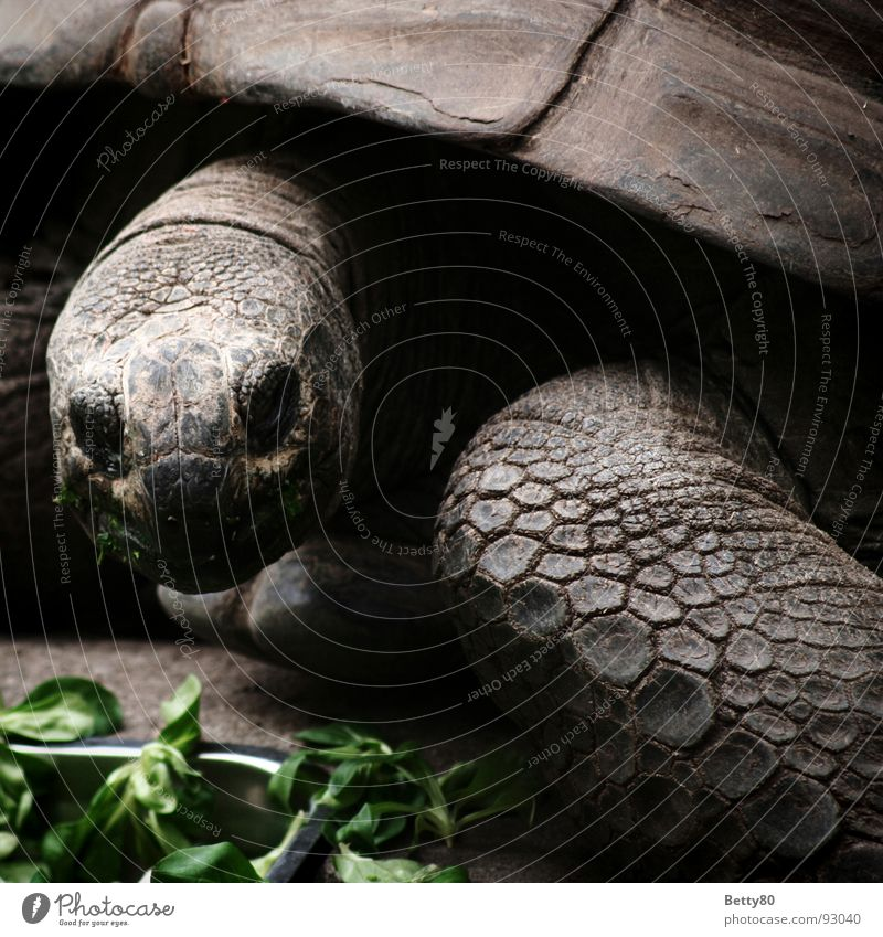 Animal To feed Reptiles Turtle Armor-plated Shell Tortoise Giant tortoise Galapagos giant tortoise