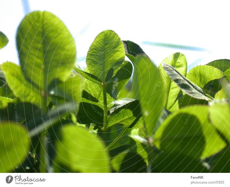 clover Clover Plant Green Leaf