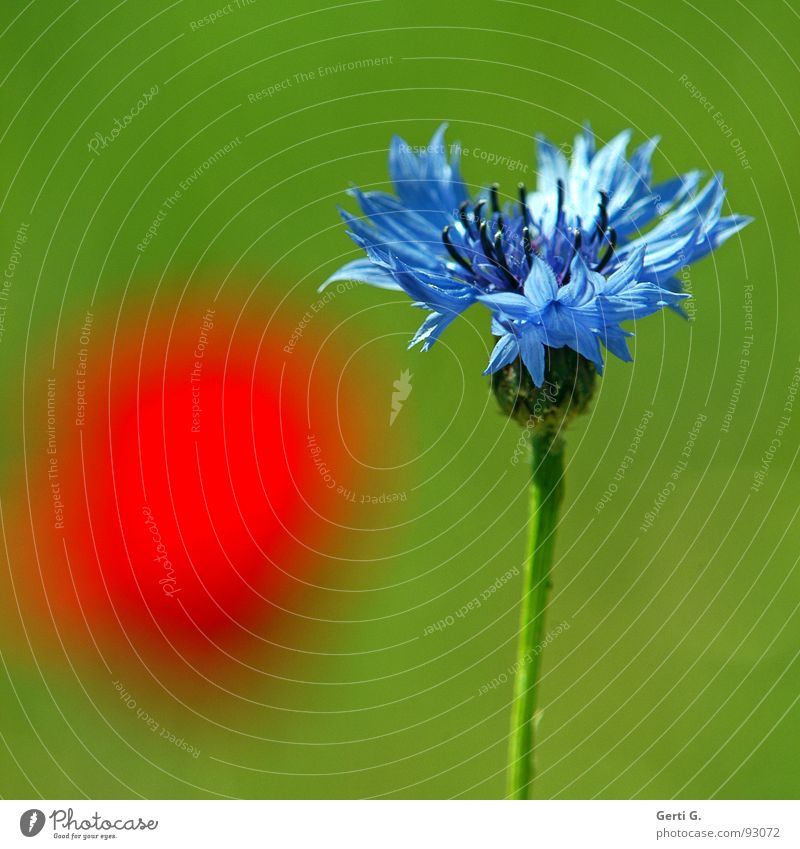 red dot Blossom Plant Cornflower Mood lighting Bright Red Green Flower Knapweed Daisy Family Medicinal plant Poppy Poppy blossom Patch of colour Illuminate