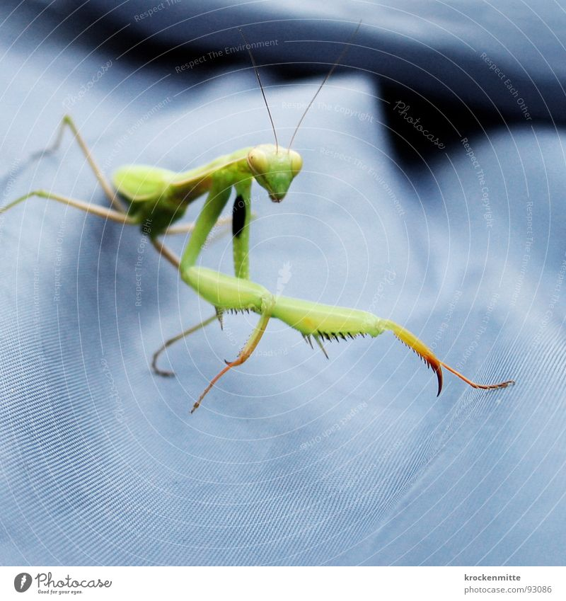 To eat with pleasure Green Insect Prayer Tentacle Wing Foray Carnivore European mantis Blue flat tent Nature six legs crotch legs catching tools Appetite
