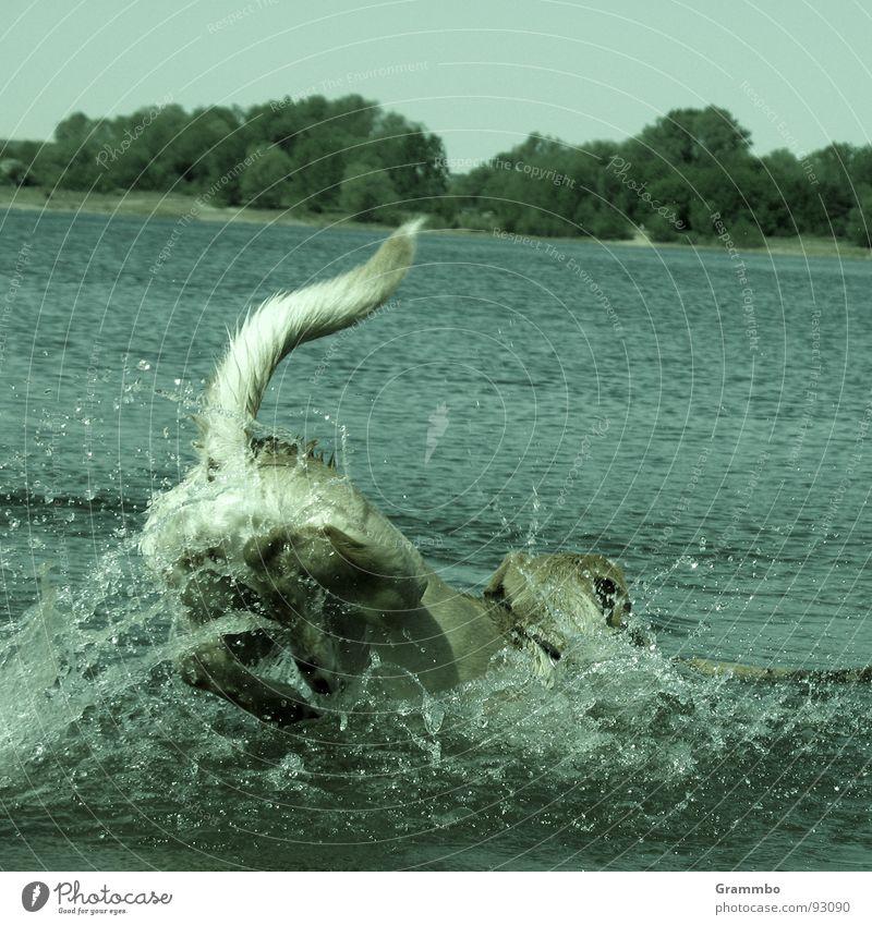 Water Summer Joy Jump Dog Lake Swimming & Bathing Joie de vivre (Vitality) Mammal Inject Tails
