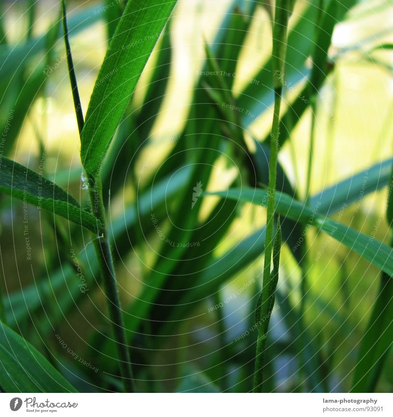 Nature Plant Green Water Environment Spring Grass Garden Park Growth Branch Force Asia Common Reed Blade of grass Botany