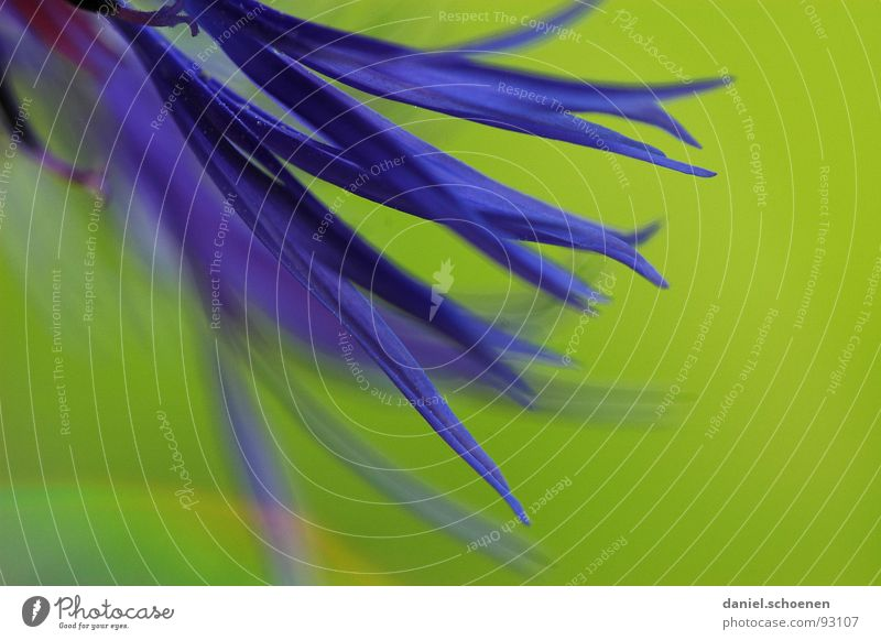 Green Blue Summer Flower Blossom Spring Background picture Violet Cornflower Abstract