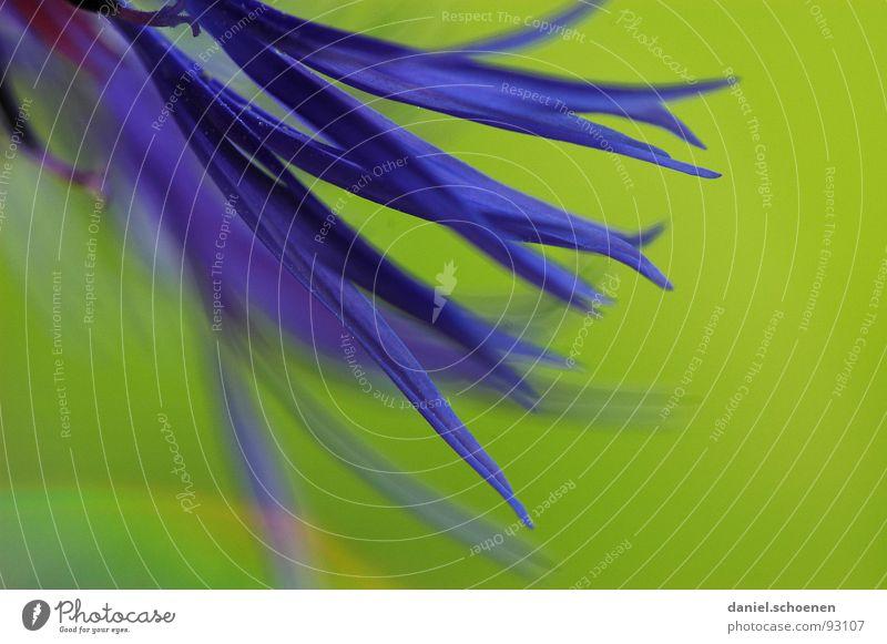 Green Blue Summer Flower Blossom Spring Background picture Violet Cornflower Abstract