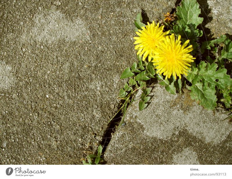 Green Plant Loneliness Yellow Gray Stone Concrete Earth Joie de vivre (Vitality) Dandelion Traffic infrastructure Furrow Paving stone Endurance Survive Foliage plant