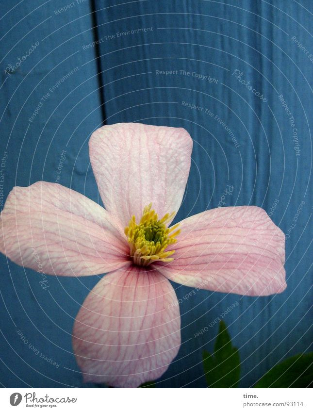 Flower Green Blue Plant Yellow Wall (building) Blossom Spring Garden Wood Pink Delicate Watchfulness Clematis