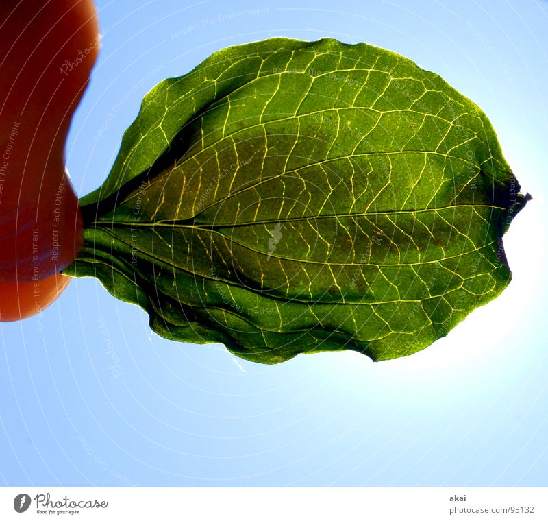 Sheet 11 Plant Green Botany Part of the plant Creeper Verdant Environment Bushes Back-light Leaf Background picture Tree Near Light Photosynthesis Vessel Detail