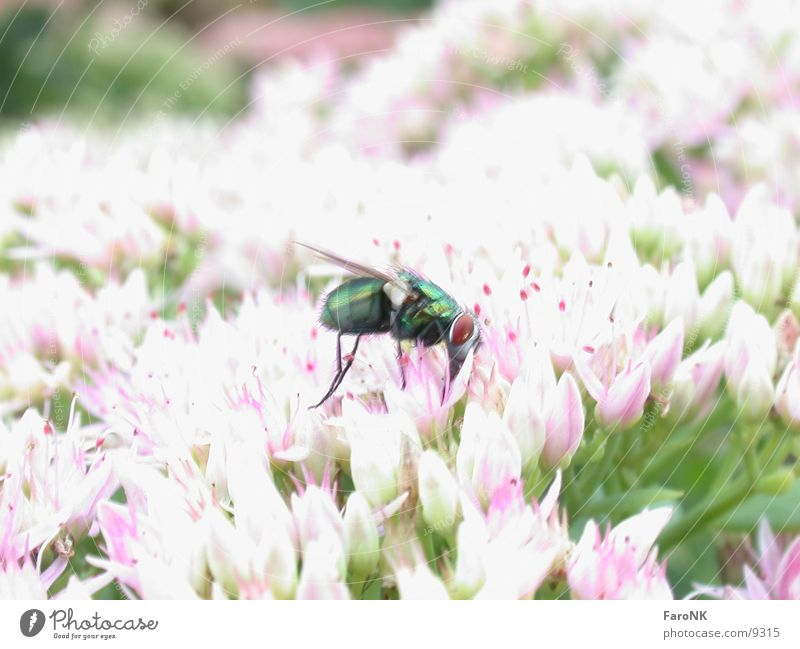 Green Animal Blossom Fly Transport Insect