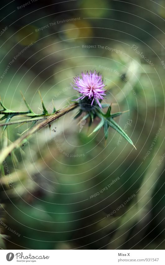 thistle Environment Nature Flower Leaf Blossom Blossoming Point Thorny Violet Thistle Thistle blossom Thistle leaves Colour photo Multicoloured Exterior shot