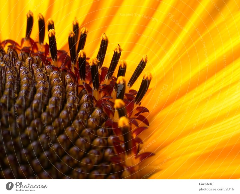 Yellow Blossom Sunflower Pistil