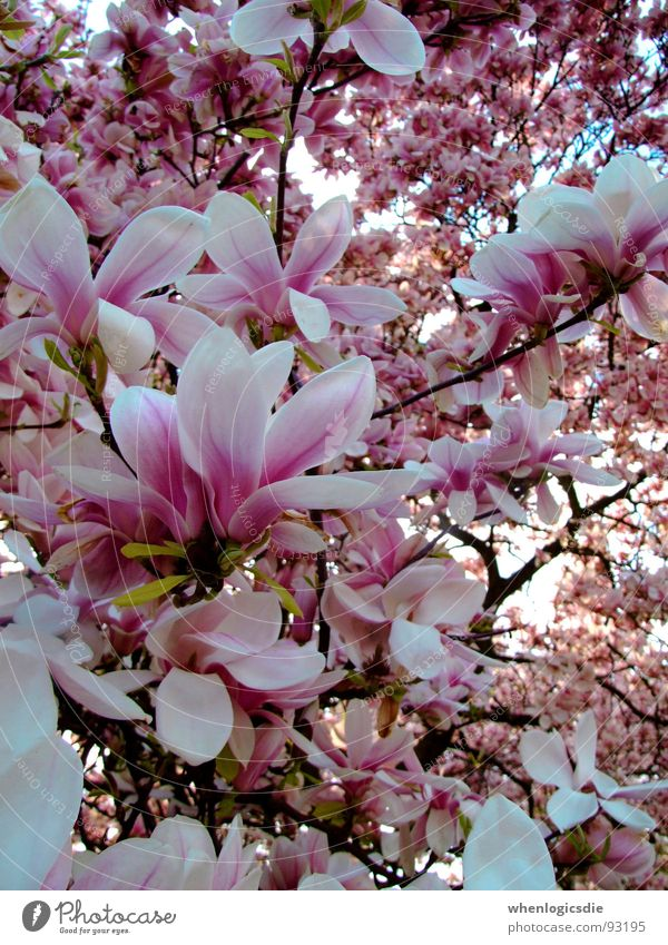 Tree Blossom Spring Pink Violet Branch