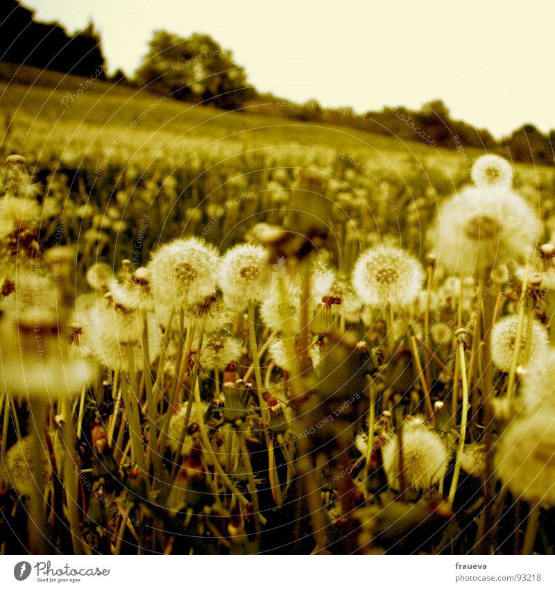 Sky Nature Green Summer Colour Calm Yellow Meadow Grass Spring Lie Dandelion Austria Slope Summery Yellowed