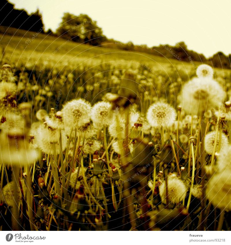 You're a puste to fall down on. Meadow Grass Dandelion Edge of the forest Slope Calm Green Nature Yellow Yellowed Worm's-eye view Summer Summery Austria Spring