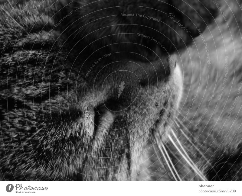 tiger cat Cat Paw Sleep Mammal Black & white photo mackerelled Eyes Nose