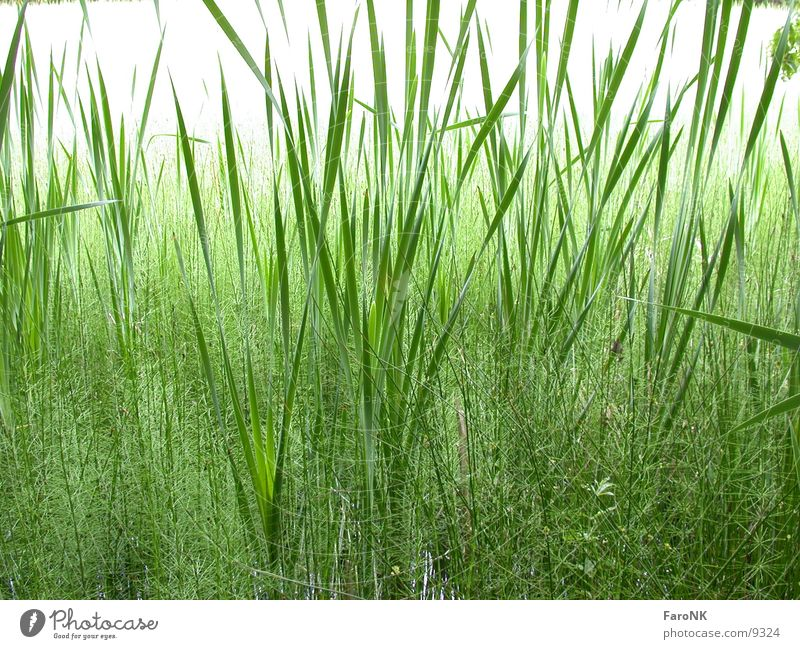 reed Grass Green Nature Plant