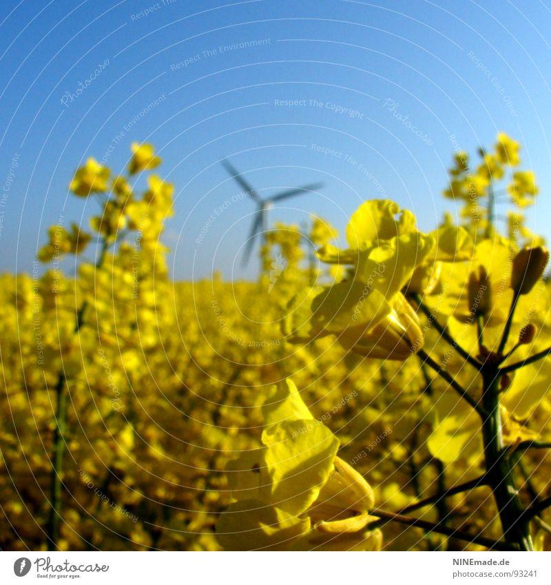 Brassica napus I Canola Canola field Field Oilseed rape flower Oilseed rape oil Blossom Yellow Green Sky blue White 3 Blur Square Spring Summer Depth of field