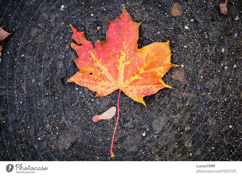 Red Leaf Black Environment Autumn Orange Earth Maple leaf Maple tree Faded