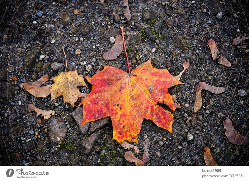 red foliage Autumn Leaf Faded Maple tree Maple leaf Floor covering Orange Red Black Colour photo Exterior shot Copy Space left Copy Space right Copy Space top