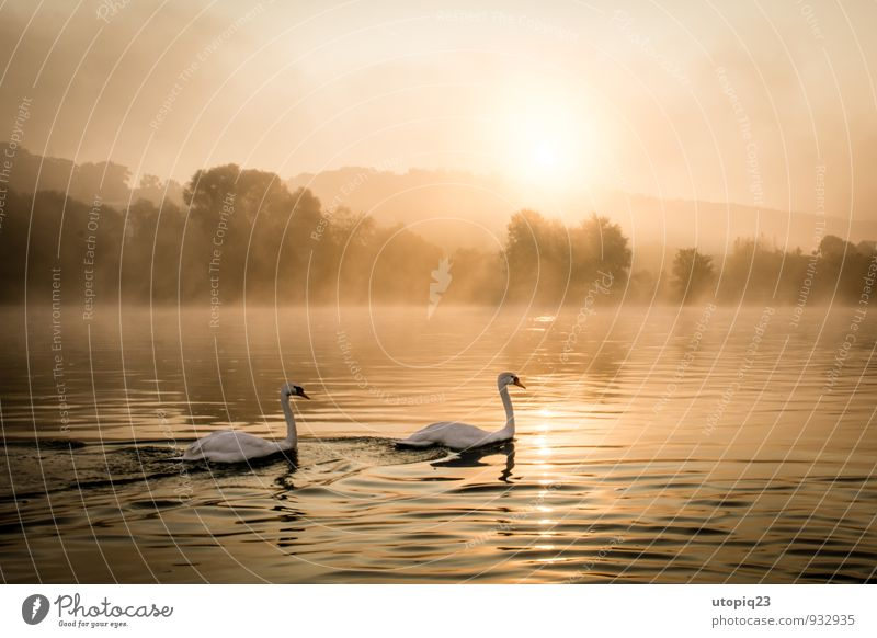 Sunrise at the Elbe with pair of swans Nature Landscape Water Sunset Autumn Winter Fog River bank Town Deserted Wild animal Swan Pair of animals Movement