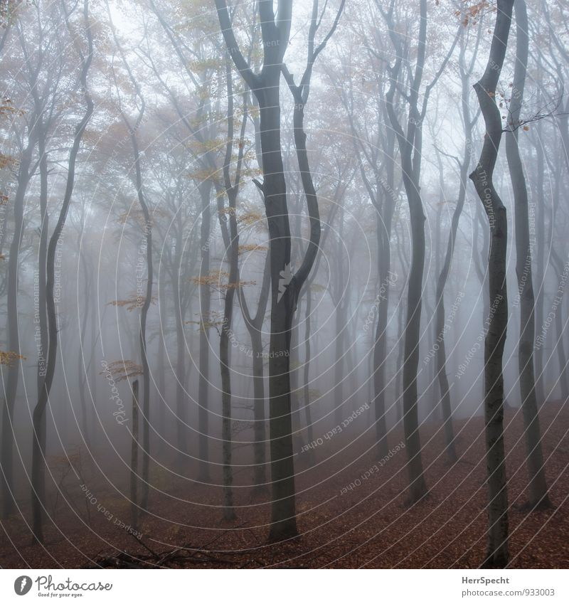 Cloud forest IV Nature Landscape Autumn Bad weather Fog Tree Forest Vienna Austria Outskirts Deserted Esthetic Dark Creepy Natural Brown Gray Beech wood